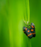 Black-and-red froghoppers Royalty Free Stock Images