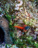 Black and red goby fish on colorful reef Stock Image