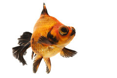 Black and Red Goldfish. Isolated on white backgound Royalty Free Stock Image