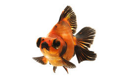 Black and Red Goldfish Stock Photos