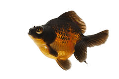 Black and Red Goldfish Stock Photo