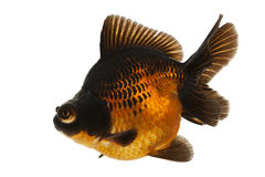 Black and Red Goldfish. Isolated on white backgound Stock Photos