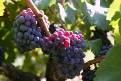 Black red grape for wine production in Spain. Grapevine fields Royalty Free Stock Image