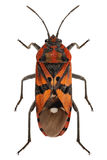 Black and Red Ground bug species Spilostethus pandurus Stock Images