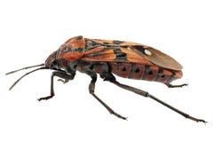 Black and Red Ground bug species Spilostethus pandurus stock photo