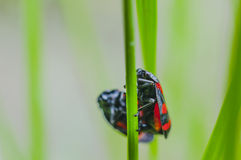 Black and red insects Stock Images
