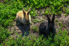 Black and red little funny rabbit with long ears Royalty Free Stock Photography