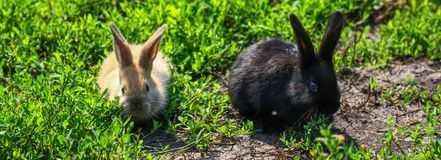 Black and red little funny rabbit with long ears Stock Photography