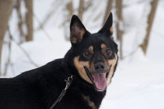 Black and red mongrel dog standing on snow Royalty Free Stock Image