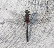 Black and red mottled dragonfly stock photography