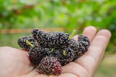 Black and red Mulberry fruit on the branch Stock Photos