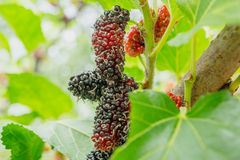 Black and red Mulberry fruit on the branch Stock Images