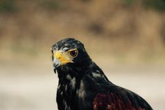 Black and Red Pet Bird Royalty Free Stock Images