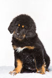 Black and red puppy of Tibetan mastiff Stock Photography