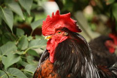 Black and red rooster portrait Stock Photography