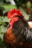 Black and red rooster portrait Stock Images