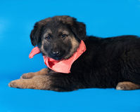 Black and red shaggy puppy in red bandanna lies on blue Stock Image