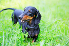 Black and red smooth-haired dachshund among the green grass. Nature background Royalty Free Stock Images