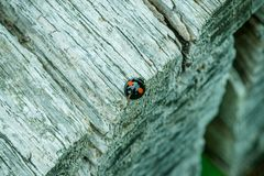 Black with red spotted Harlequin Ladybird. Resting on the edge of a grey textured wooden picnic table royalty free stock photo