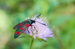 Black red spotted moth sitting on a wild flower Stock Photos