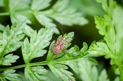 Black & Red Squash bug on grass. Nymph of Black & Red Squash bug Corizus hyoscyami walking on green grass in garden. Close up Stock Image