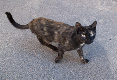 Black and red  stray cat walking on asphalt Royalty Free Stock Images