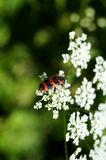 Black and red striped checkered beetles on a white flower Royalty Free Stock Image