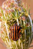 Black and red striped shield bug Stock Photos