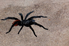Black and Red Tarantula Royalty Free Stock Photography