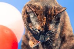 Black and red tortoiseshell cat on a blue background next to inflatable balloons. A bicoloured cat sits and washes the face with a foot, next to red and white stock photos