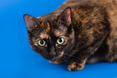 Black and red tortoiseshell cat on a blue background. Two-colored cat pressed to the floor, close-up, selective focus royalty free stock photos