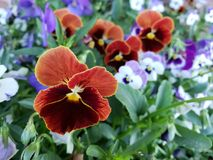 Flowers. Black and red and violet flowers Royalty Free Stock Photography