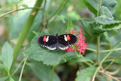 Black red and white Butterfly. A beautiful black butterfly with red and white spots sitting on a leaf stock photo