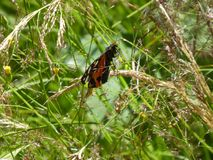 Black red white butterfly in the grass. Black red white butterfly animal insect green grass nature wild forest royalty free stock image
