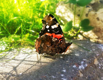 Black with red and white spots butterfly Royalty Free Stock Photography