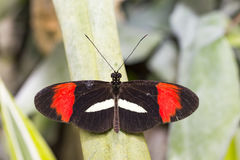Black and red wing, Heliconius melpomene butterfly Stock Photography