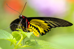 Black Red and Yellow Butterfly Perched on Green Leaf on Focus Photography Stock Images