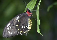 Black, Red, Yellow, and White Butterfly Stock Photos