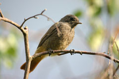 Black redstart. Young black redstart sitting on a branch stock photo