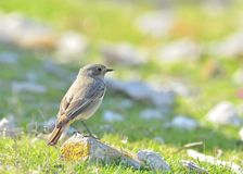A Black Redstart Stock Images