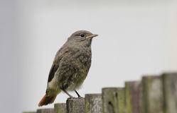 Black redstart. Young black redstart on wooden fence Royalty Free Stock Photos