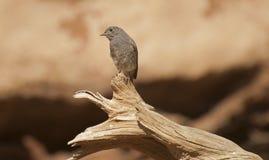 Black redstart. The Black Redstart (Phoenicurus ochruros) is a small bird Royalty Free Stock Photo