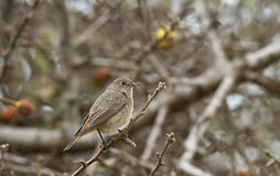 Black Redstart Stock Photography