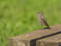 Black Redstart Royalty Free Stock Image