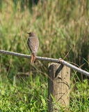 Black Redstart Stock Photo