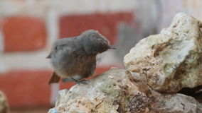 Black Redstart stock video