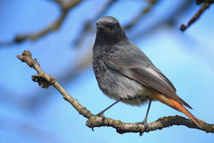 Black redstart. A black redstart on a tree in the early spring Stock Photos