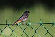 Black Redstart bird Stock Photos