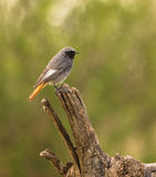 Black Redstart bird on log Royalty Free Stock Images