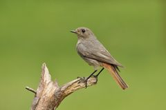 Black redstart. Redstart bird perched on branch Royalty Free Stock Photo